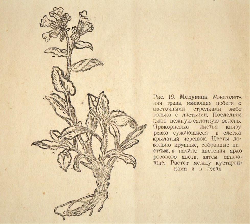 """Медуница (Pulmonaria) - рисунок из книги Профессора Г.Г. Боссэ """"Готовьте из диких весенних растений мучные изделия, супы, салаты"""", Госторгиздат, Москва - 1942 г."""