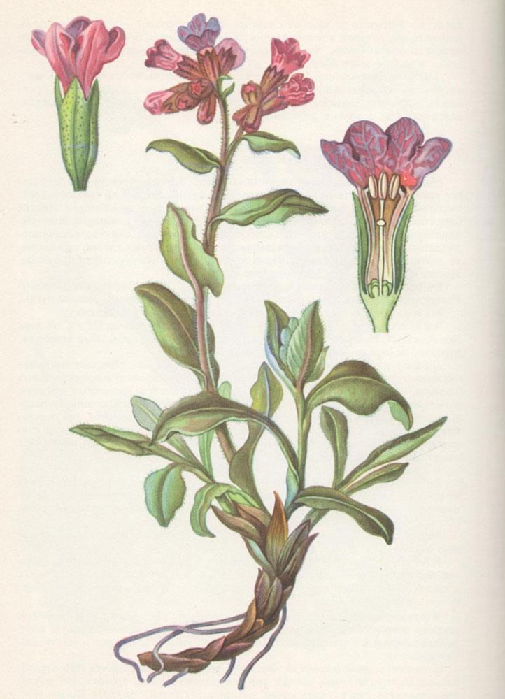 Медуница. Ботаническая иллюстрация.
