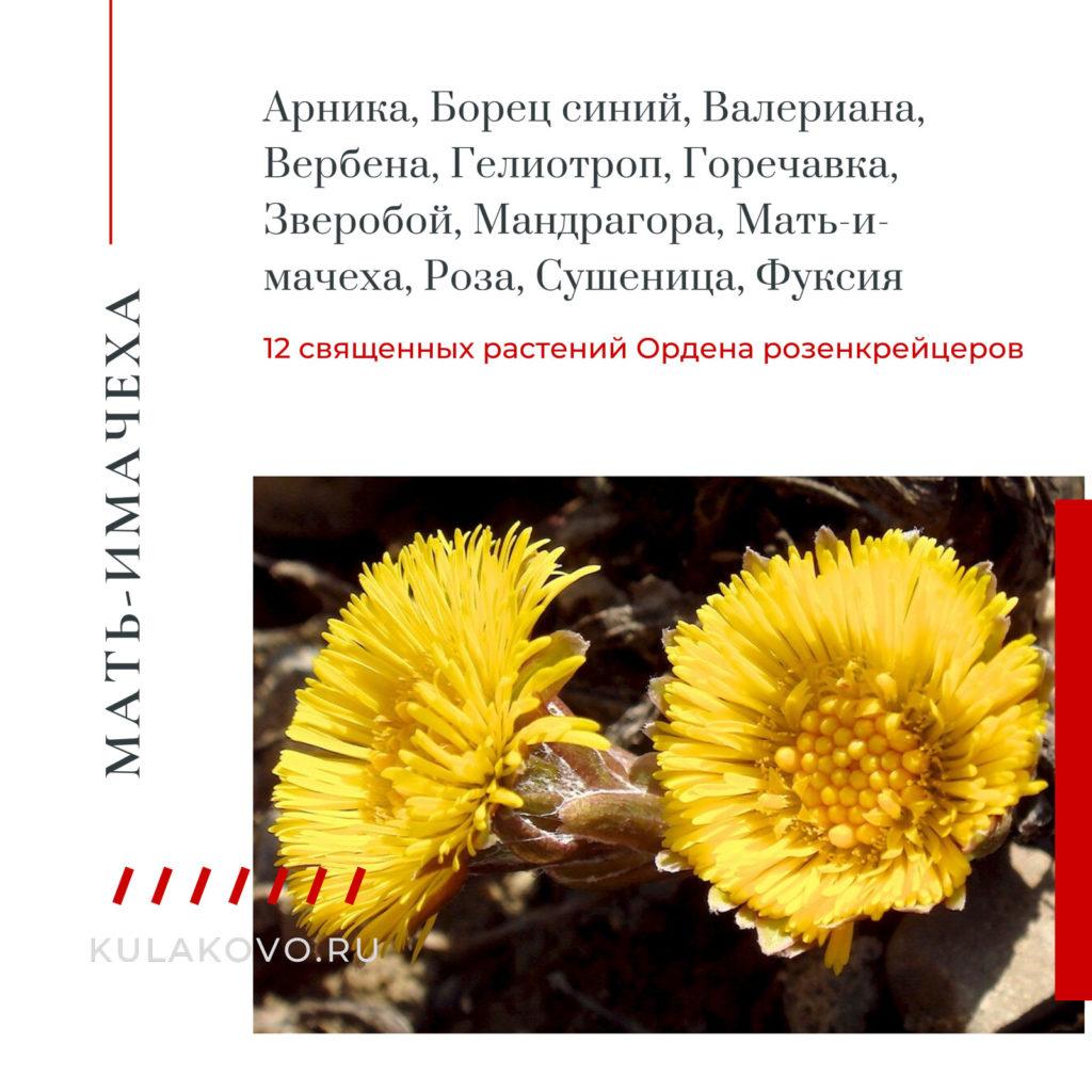 Мать-и-мачеха считалась одним из 12 священных растений Ордена розенкрейцеров, вместе с такими растениями как Арника, Борец синий, Валериана, Вербена, Гелиотроп, Горечавка, Зверобой, Мандрагора, Роза, Сушеница, Фуксия.
