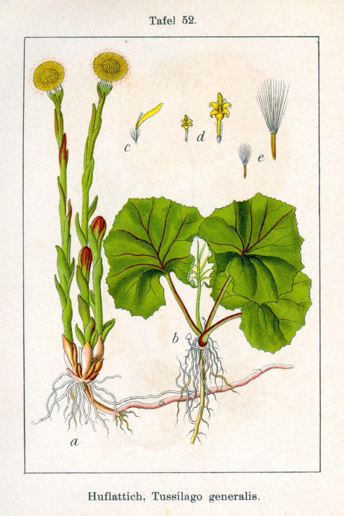 Мать-и-мачеха в ботанической иллюстрации