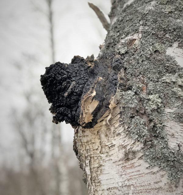 Чага — чёрный березовый гриб