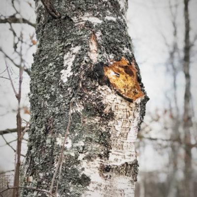 Чага - чёрный березовый гриб Kulakovo.ru