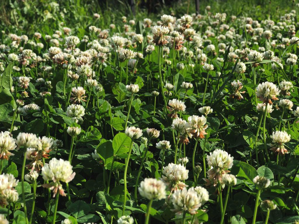 Клевер луговой Trifolium pratense L.