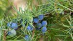 Можжевельник обыкновенный - лекарственное растение