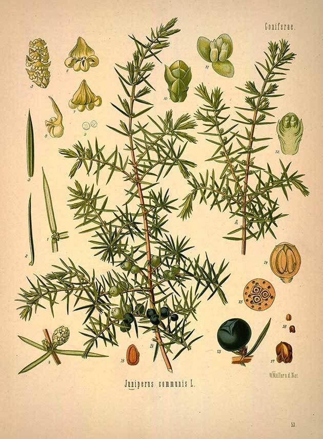 Можжевельник в ботанической иллюстрации