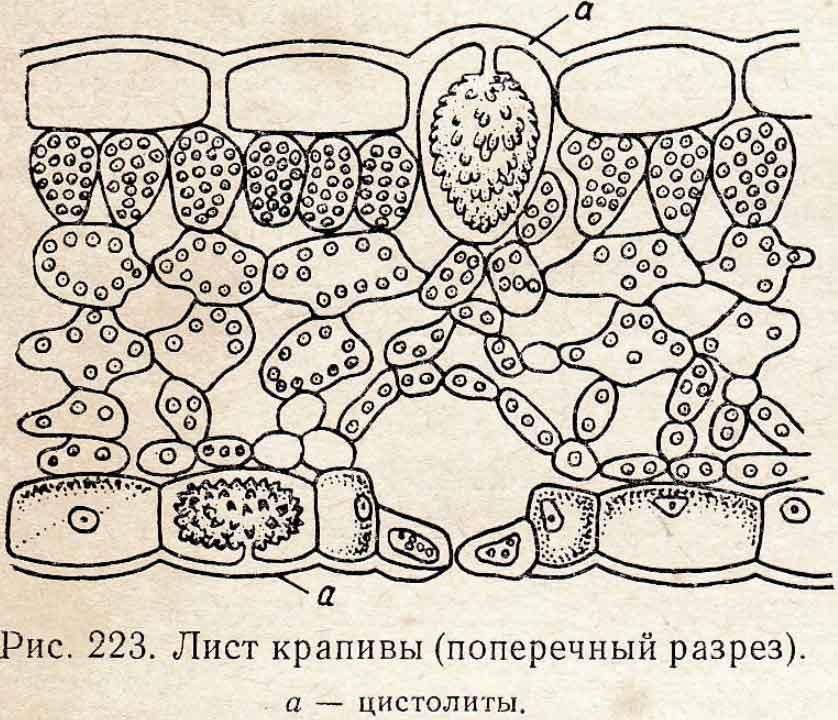 Лист крапивы поперечный разрез