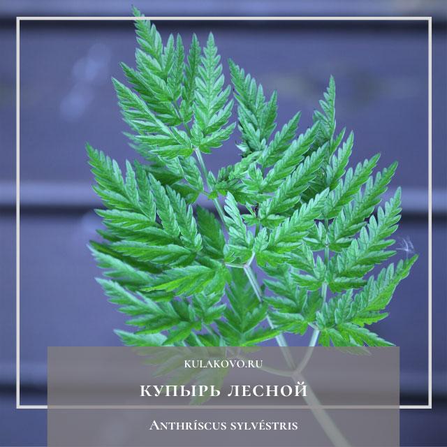 Купы́рь лесно́й (лат. Anthríscus sylvéstris)