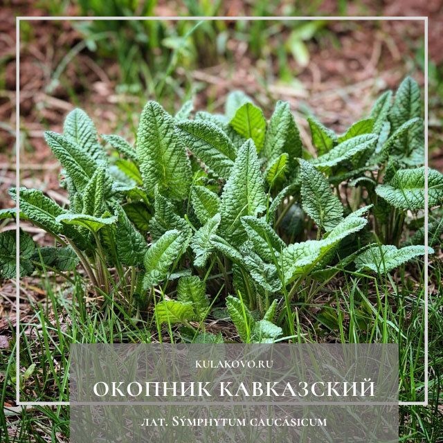 Око́пник кавка́зский (лат. Sýmphytum caucásicum)