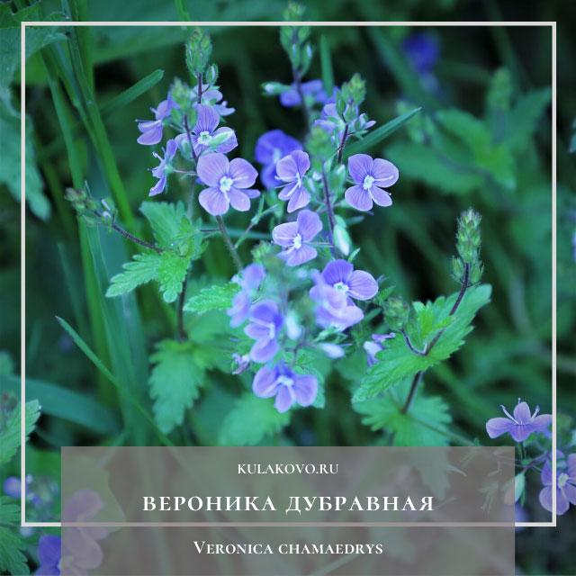 Веро́ника дубра́вная (лат. Veronica chamaedrys)