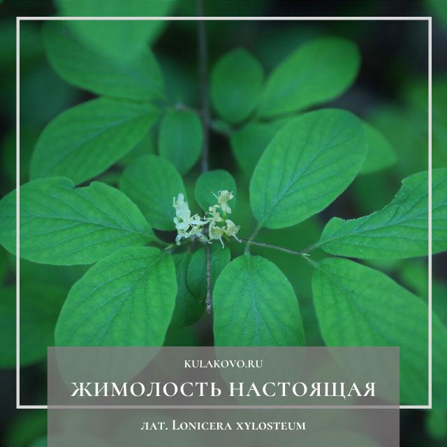 Жимолость настоящая, или Жимолость обыкновенная, или Жимолость лесная (лат. Lonicera xylosteum)