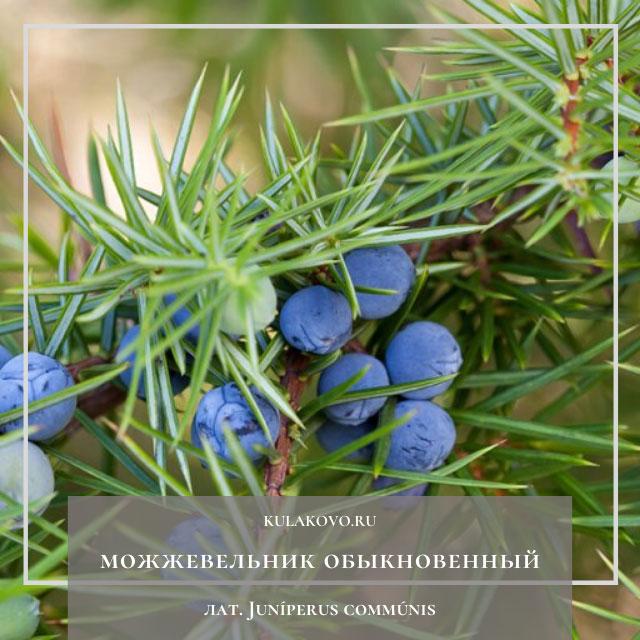 Можжевельник обыкновенный (лат. Juníperus commúnis)