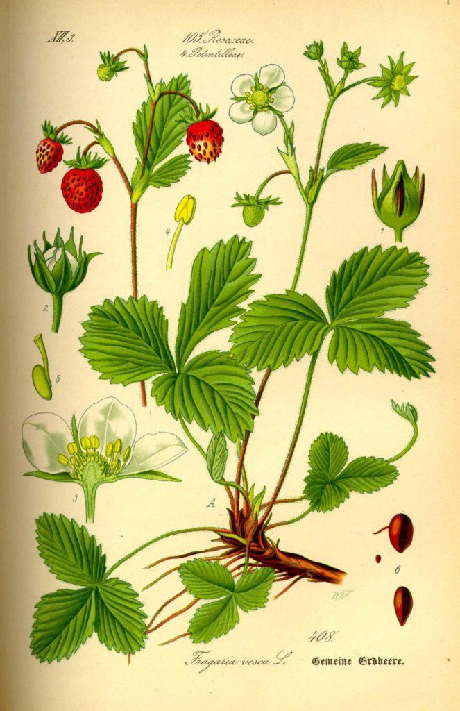 Земляника лесная. Ботаническая иллюстрация.