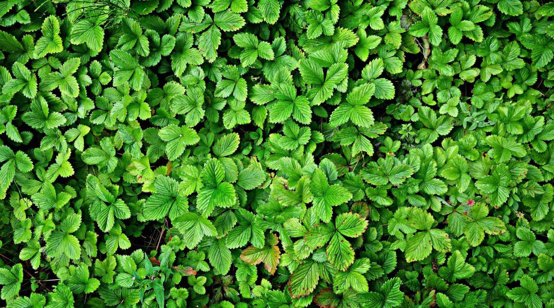 Земляники лесной листья